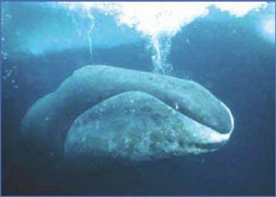 Baby bowhead whale - photo#22