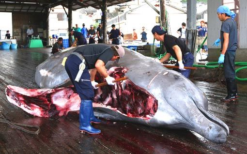 dolphin slaughter in japan Every year, in taiji, japan, dolphins are chased into a small cove and  work  inside japan with japanese activists and organizations to fight the dolphin killing .