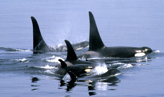 Images Of Whales. A POD OF WHALES